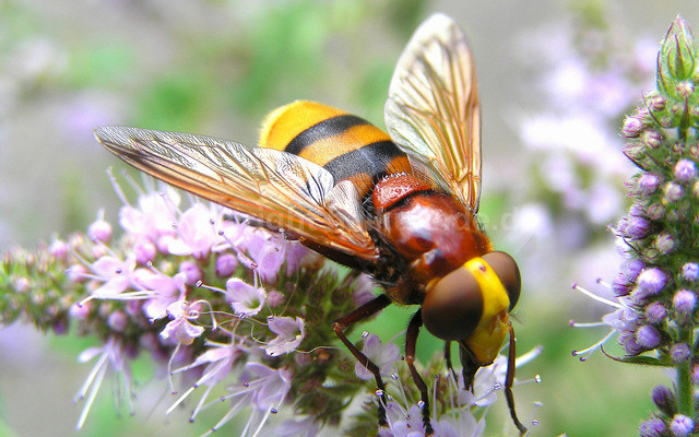 Schwebfliege - Volucella zonaria