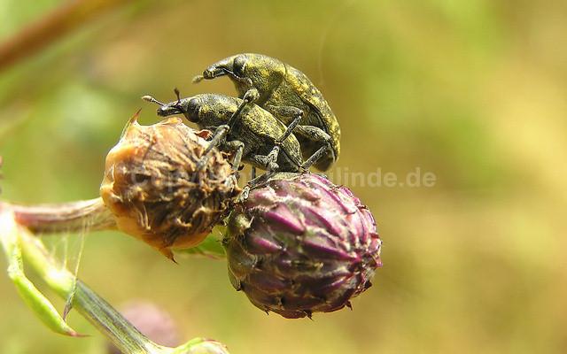 Rüsselkäfer - Larinus turbinatus