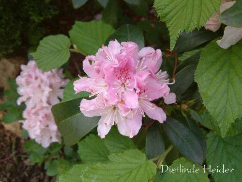 Rhododendron (32k image)