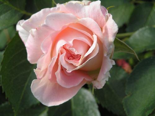 Rose1klein (27k image)