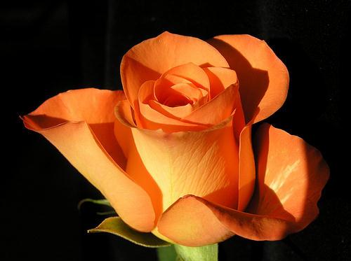 RoseschmalorangescharfTG (27k image)