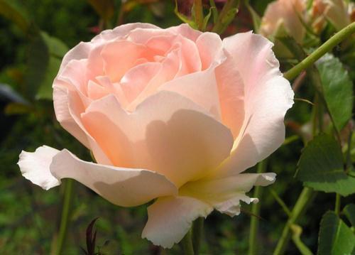 rosezart2okTG (29k image)